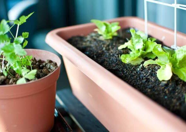 ベランダ菜園をカラフルにしてくれる果菜類野菜のパプリカとスイートチャード