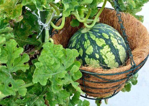 スイカのプランター栽培間引きや人工授粉など、育て方のポイント