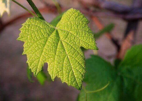 葉っぱの変色には要注意!モザイク病の原因と対策