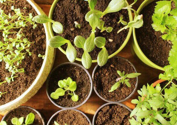 ソープワートの育て方【苗から簡単!室内やプランターで栽培】