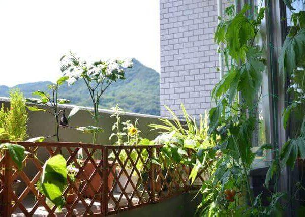 ベランダ菜園で育てやすいおすすめの外来野菜2選