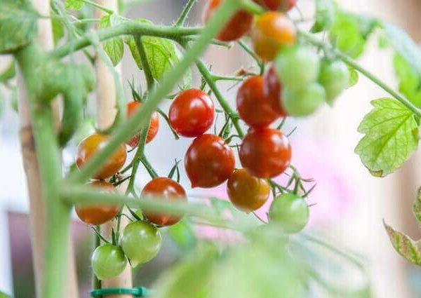 初心者でも失敗しない家庭菜園向き野菜4選