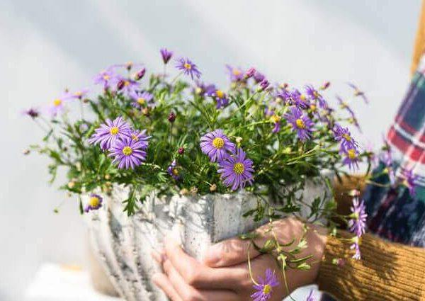コーンフラワーハーブやグリーンネックレスの育て方【室内やプランターで簡単栽培】