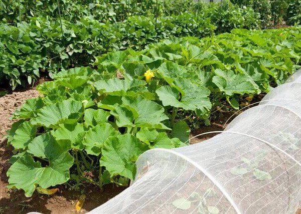 中級者に育てていただきたい葉菜類4選