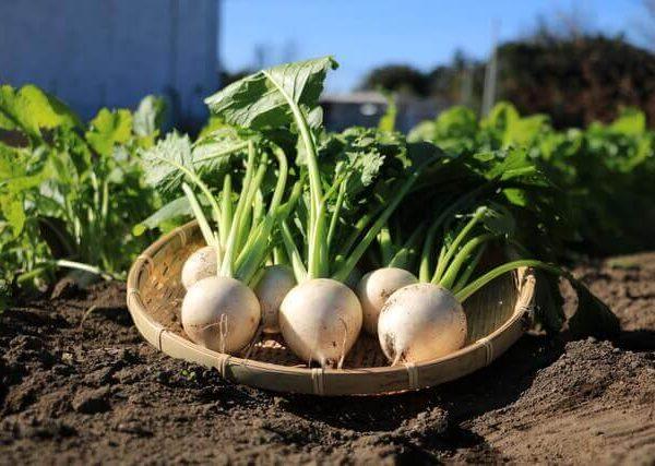初心者でも育てやすい根菜類の野菜3選
