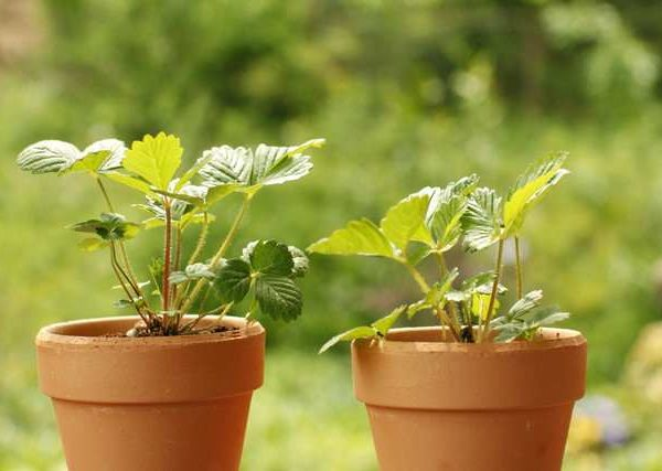 ベランダ菜園で育てやすく病害虫にも強いおすすめの果菜類野菜3選
